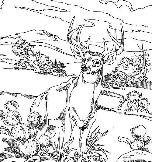 white tailed deer coloring pages - photo#25