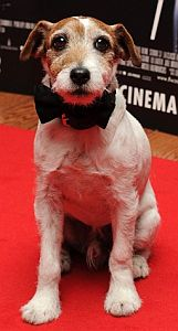 Uggie, the dog from the film The Artist, wearing a bowtie on the red carpet..