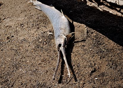 A longnose gar found on a beach along the St. Croix River in Minnesota.